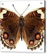 Butterfly Species Junonia Orithya  Acrylic Print