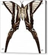 Butterfly Species Lamproptera Curius  Acrylic Print