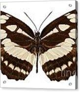 Butterfly Species Neptis Hylas  Acrylic Print