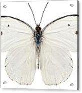 Butterfly Species Pieris Rapae Acrylic Print