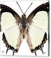 Butterfly Species Polyura Jalysus Acrylic Print