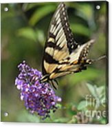 Butterfly Sucking On Some Pollen Acrylic Print