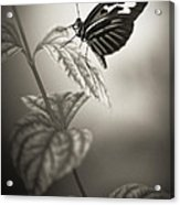 Butterfly Warm Black And White Acrylic Print