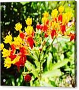 Butterfly Weed 2 Acrylic Print