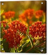 Butterfly Weed In The Sunset Acrylic Print