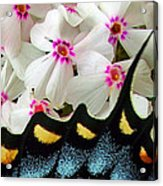 Butterfly Wing And Phlox Acrylic Print