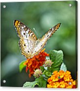Butterfly Wings Of Sun 2 Acrylic Print by Thomas Woolworth