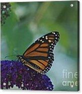Butterflybush Acrylic Print