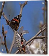 Butterfy In Almond Blossoms   #9289 Acrylic Print