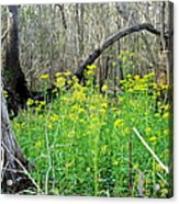 Butterweed Florida Wildflower Acrylic Print