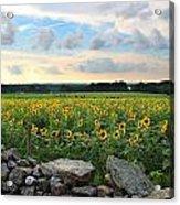 Buttonwood Farm Sunflowers Acrylic Print