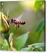 Buzz The Bee Acrylic Print
