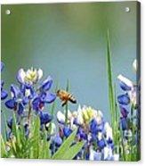 Buzzing The Bluebonnets 02 Acrylic Print