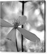 Bw Clematis Acrylic Print