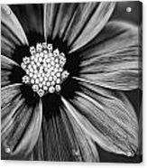 Bw Flower Art Acrylic Print by Tammy Smith