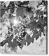 Bw Lens Flare Hanging Thompson Grapes Sultana Acrylic Print