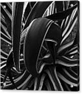 Bw Variegated Agave Acrylic Print