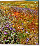 Ca Poppies And Goldfields And Lacy Phacelia And Sage In Antelope Valley Ca Poppy Reserve-california Acrylic Print