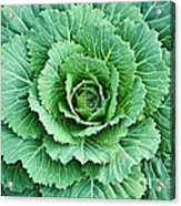 Cabbage Leaves Acrylic Print
