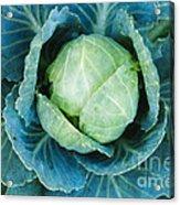 Cabbage Painterly Acrylic Print