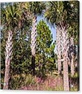 Cabbage Palm Acrylic Print