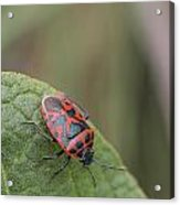 Cabbage Shield Bug Acrylic Print