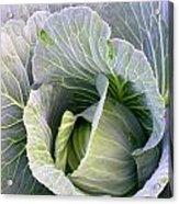 Cabbage Still Life Acrylic Print