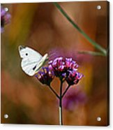 Cabbage White Butterfly In Fall Acrylic Print