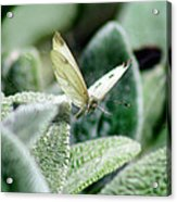 Cabbage White Butterfly In Flight Acrylic Print
