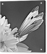 Cabbage White Butterfly On Cosmos - Black And White Acrylic Print