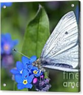 Cabbage White Butterfly On Forget-me-not Acrylic Print