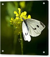 Cabbage White Butterfly On Yellow Flower Acrylic Print