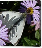 Cabbage White In Shadow Acrylic Print