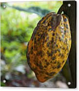 Cacao Plant Acrylic Print by Aged Pixel