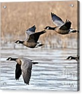 Cackling Geese Flying Acrylic Print