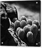 Cacti  B And W V2 Acrylic Print