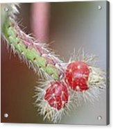 Cactus Berries Acrylic Print