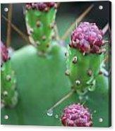 Cactus Dew Acrylic Print
