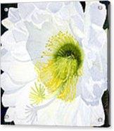Cactus Flower II Acrylic Print