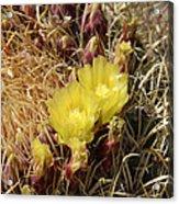 Cactus Flower In Bloom Acrylic Print
