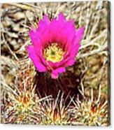 Cactus Flower Palm Springs Acrylic Print