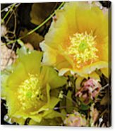 Cactus Flowers, Capitol Reef National Acrylic Print