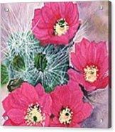 Cactus Flowers I Acrylic Print