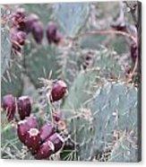 Cactus Fruit Acrylic Print