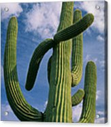 Cactus In The Clouds Acrylic Print