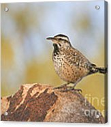 Cactus Wren On Rock Acrylic Print