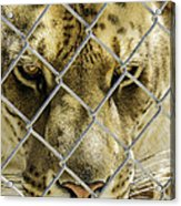 Caged Liger Acrylic Print