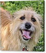 Cairn Terrier Acrylic Print by Andres LaBrada