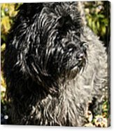 Cairn Terrier Portrait Acrylic Print
