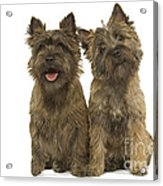Cairn Terriers Acrylic Print